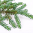 Foto Stock: Fir tree branch