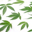 Stock Photo: Cannabis leafs