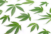 Cannabis leafs — Stock Photo