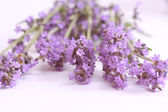 Lavender flowers — Stock Photo