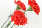 Tree red carnations — Stock Photo