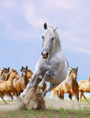 White horse and herd — Stock Photo
