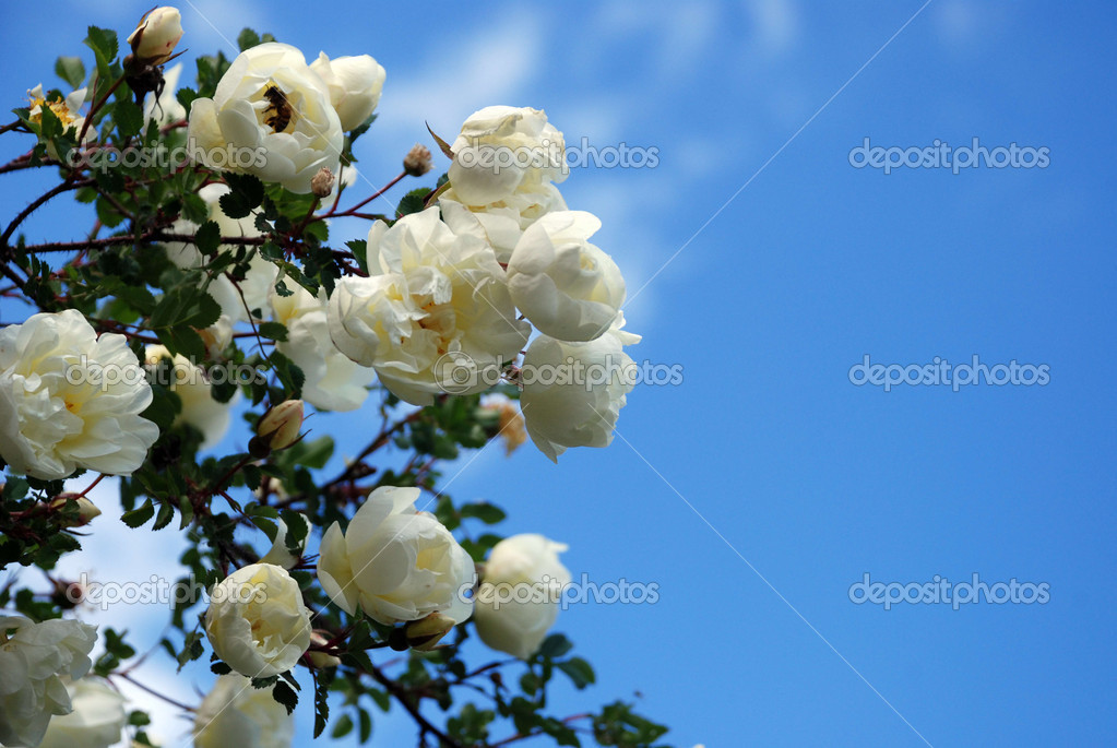 Branch of a white rose against the sky — Stock Photo #5311798