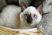 Siamese cat — Stock Photo