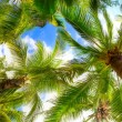 Royalty-Free Stock Photo: Palm tree