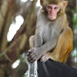 Macaque — Foto de Stock
