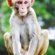 Macaque — Stock fotografie