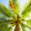 Stock Photo: Coconut palm