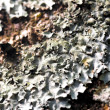 Lichen texture — Stock Photo