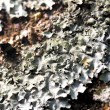 Stock Photo: Lichen texture