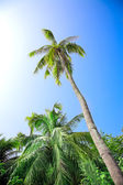 Coconut palm — Photo