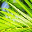 Palm leaf — Stock Photo #5164107