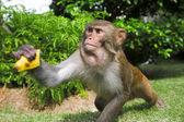 Macaque — Stock Photo
