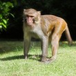 Macaque — Stockfoto #5264052
