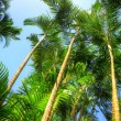Stock Photo: Arecpalm