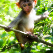 Macaque - Stock Photo