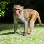 Macaque — Stock Photo