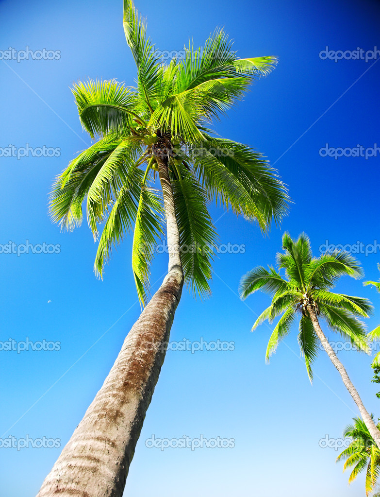 Coconut palm on the blue sky background — Stock Photo #5264064
