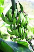 Gröna bananer — Stockfoto