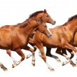 Four sorrel stallion gallop - Stock Photo