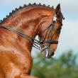 Dressage: head of bay stallion - Stock Photo