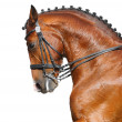 Dressage: head of bay stallion — Stock Photo #5361462