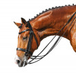 Dressage: head of bay stallion — Stock Photo