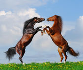 Battle of horses — Stock Photo