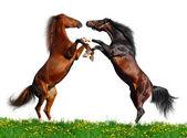 Battle of horses on green field — Stock Photo