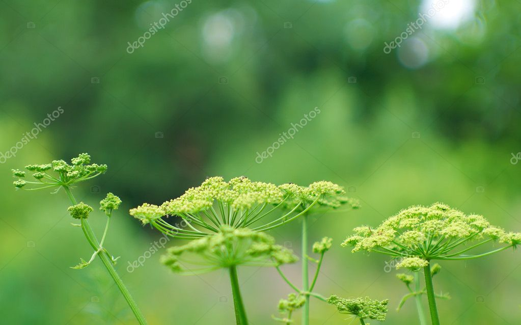 Large shrubs dill on the background of green trees. Very nice wallpaper. — Stock Photo #4456597