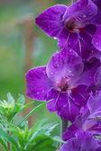 Violet beauty — Stock Photo