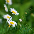 White beautiful chamomiles on the green — Stock Photo #4941574
