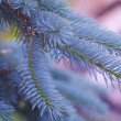 Blue fur-tree — Stock Photo