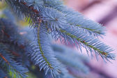 Blue fur-tree — Stock fotografie