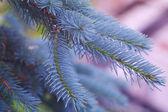 青い毛皮ツリー — ストック写真