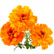 Marigold flower — Stockfoto #3926569