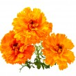 Marigold flower — Stock Photo #3926569