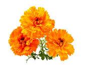 Fiore del tagete — Foto Stock