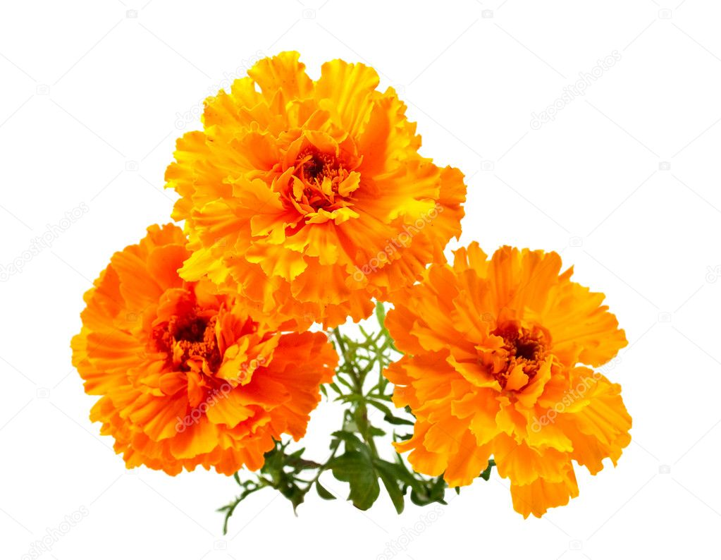 Marigold flower on a white background — Stock Photo #3926569