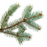 Spruce branch — Stock Photo #4101068