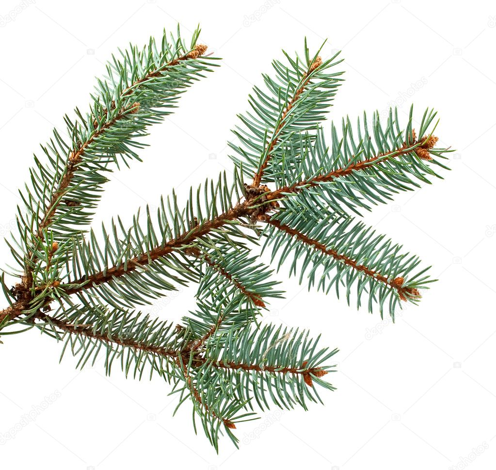 Spruce branch on a white background — Stock Photo #4101068