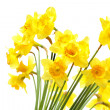 Daffodils — Stock Photo #4551096