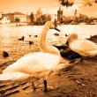 Swan at Prague — Stock Photo