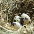 Nest with eggs — Foto Stock