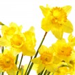 Stock Photo: Yellow daffodils