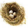 Nest with quail eggs - Stock Photo