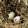 Nest with three eggs - Stockfoto
