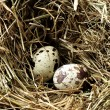 Nest with three eggs - Stok fotoraf