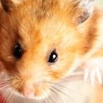 Hamster — Stock Photo #4554536