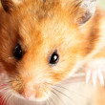 Hamster — Stock Photo
